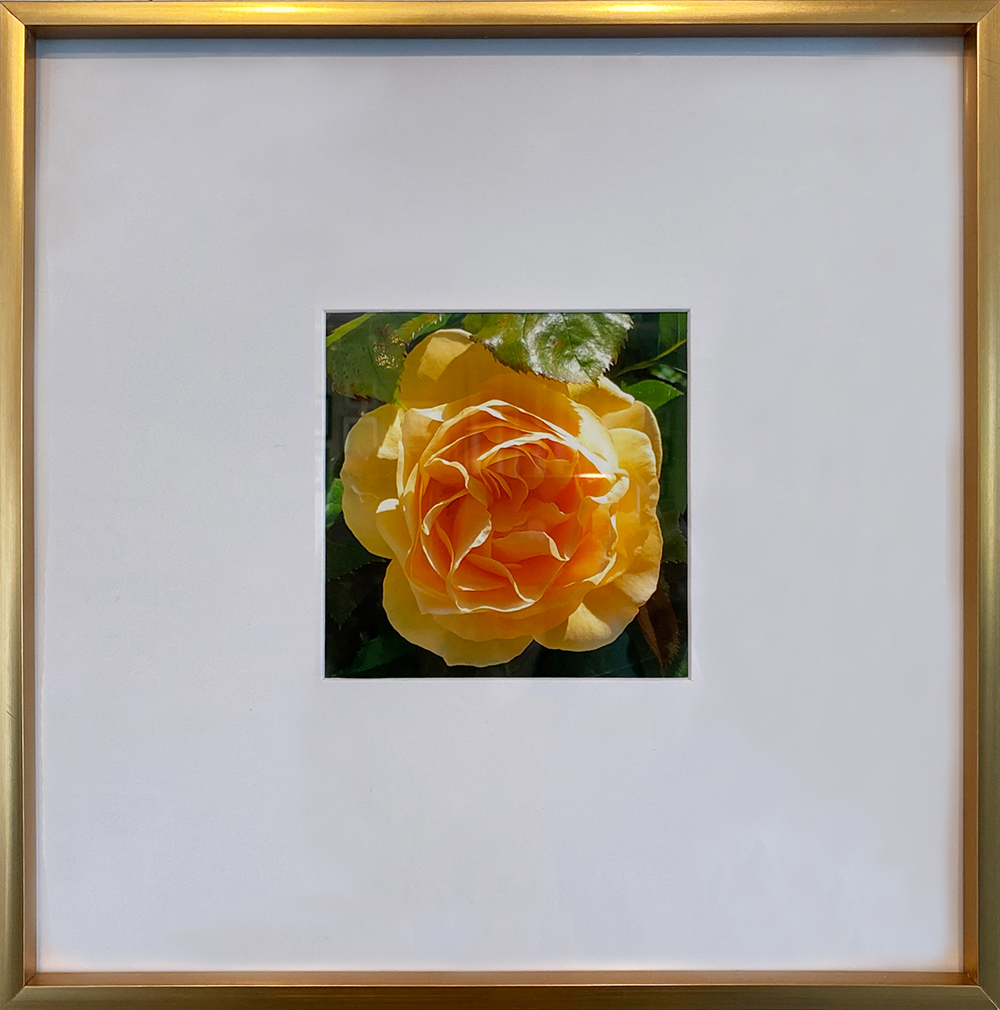 """Yellow Rose"" Framed 4.75""X4.75"" Photography by Sandy Czaja: $80"