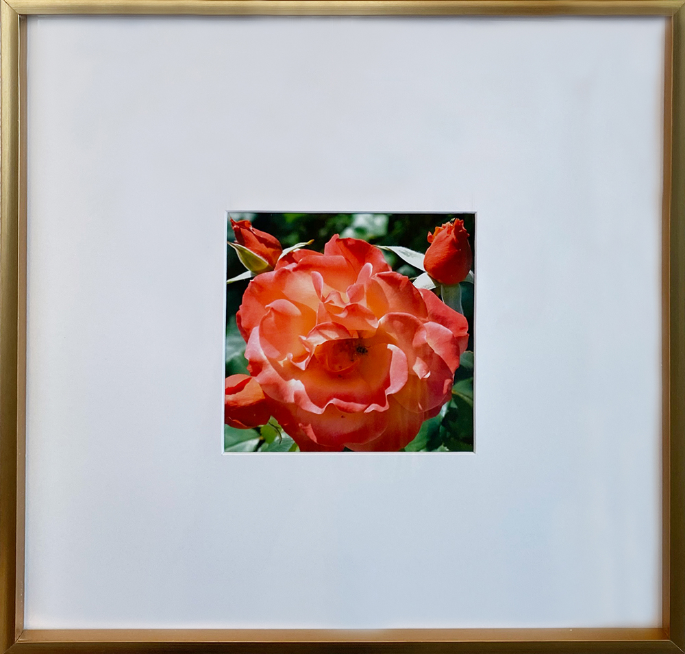 """Red Rose"" Framed 4.75""X4.75"" Photography by Sandy Czaja: $80"